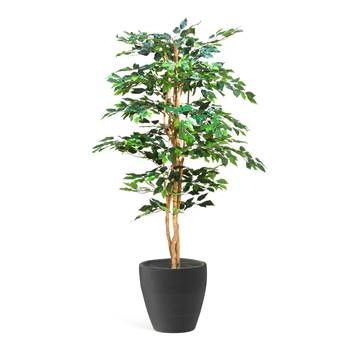 Ficus Benjamin, 1600 mm, inc. black pot