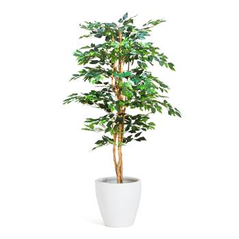 Ficus Benjamin, 1600 mm, inc. white pot